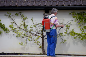 picture of pest control  - a gardener sprays his peach trees as the first leaves appear - JPG