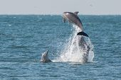 stock photo of leaping  - Group of dolphins leaping out of the water together - JPG