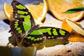 foto of malachite  - Closeup of Malachite butterfly feeding on slices of orange fruits - JPG