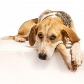 stock photo of foxhound  - Studio portrait of a foxhound beagle cross dog - JPG