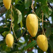 stock photo of mango  - Mango fruits on a tree close - JPG