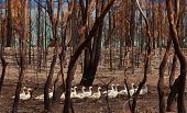 foto of wander  - Flock of domesticated Geese wander through burnt out bushland after a bushfire - JPG