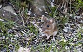 stock photo of field mouse  - small field mouse sitting among sunflower seeds - JPG