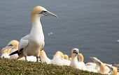 image of gannet  - A group of northern gannet sitting on rocks - JPG