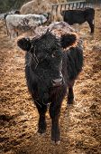 image of feedlot  - Black Cow Stands in Feed Lot  - JPG