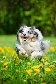 pic of sheltie  - blue merle sheltie dog outdoors in summer - JPG