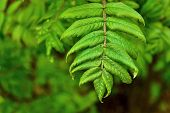 picture of mountain-ash  - young branch of a mountain ash with new green leaves - JPG
