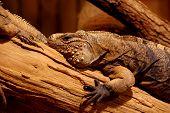 picture of terrarium  - Iguana cuban terrarium animals theme  reptile zoo. ** Note: Visible grain at 100%, best at smaller sizes - JPG