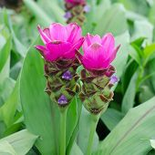 foto of curcuma  - Siam Tulip blooming in garden - JPG
