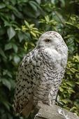image of snow owl  - portrait  White snow owl siting on stone  - JPG