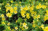 image of trumpet flower  - golden trumpet blooming in garden - JPG