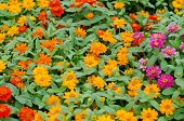 foto of zinnias  - Zinnias flower blooming in garden - JPG