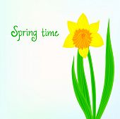 pic of daffodils  - Spring card background with one daffodil flower - JPG