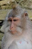 image of macaque  - crab-eating macaque or long-tailed macaque or macaca fascicularis