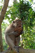 stock photo of macaque  - crab-eating macaque or long-tailed macaque or macaca fascicularis eating coconut