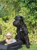 stock photo of schnauzer  - Yorkshite terrier is sitting in the black suitcase and the schnauzer dog is sitting on the lawn - JPG
