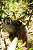 foto of baby-monkey  - A mother squirrel monkey carries a baby monkey at her back - JPG