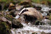 foto of badger  - Female badger loking for food in the creek - JPG