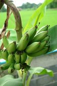 pic of banana tree  - green banana on tree banana leaf background - JPG
