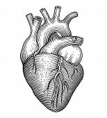 picture of coronary arteries  - Engraving vector heart isolated on a white backgrounds - JPG