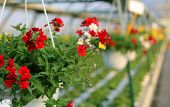 foto of geranium  - blooming geranium plants for sale in the greenhouse in spring - JPG