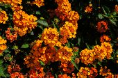 pic of lantana  - Beautiful Colorful Hedge Flower Weeping Lantana Lantana camara Linn - JPG