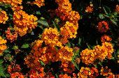 picture of lantana  - Beautiful Colorful Hedge Flower Weeping Lantana Lantana camara Linn - JPG