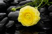 stock photo of yellow buds  - Lying down yellow ranunculus with bud and therapy stones   - JPG