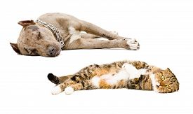 picture of scottish-fold  - Scottish Fold cat and puppy pit bull sleeping together isolated on white background - JPG