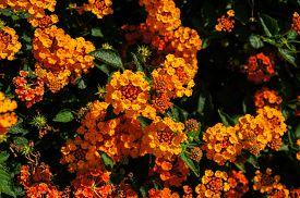 foto of lantana  - Beautiful Colorful Hedge Flower Weeping Lantana Lantana camara Linn - JPG