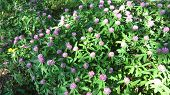 foto of red clover  - Cluster of the flowers of red clover on the summer meadow - JPG