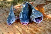 foto of catfish  - Three fresh caught catfish ready to be filleted - JPG