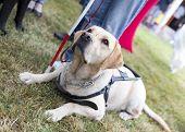 stock photo of labradors  - Labrador retriever guide dog before the last training for the animal - JPG