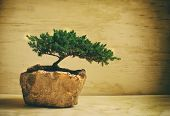 stock photo of bonsai  - Photograph of a traditional japanese bonsai tree - JPG