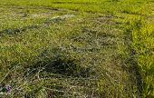 picture of dry grass  - Green grass left to dry in field - JPG