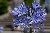 stock photo of lilas  - Close up of blue - JPG