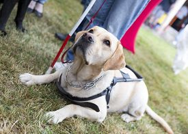 foto of seeing eye dog  - Labrador retriever guide dog before the last training for the animal - JPG