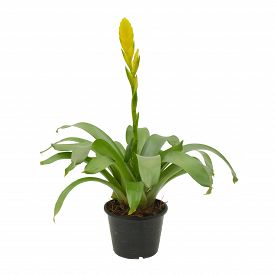 image of bromeliad  - bromeliad in pot isolated on white background - JPG