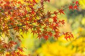 Close Up Maple Leaf With Ginko Background, Autumn Japan In Obara, Japan poster