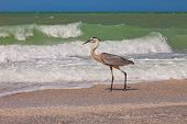 Great Blue Heron In Sanibel Island, Florida