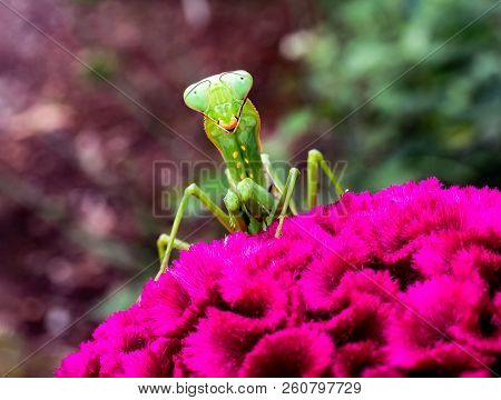 A Smiling Preying Mantis Looks