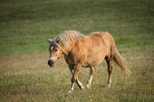 Horse Walking In Field. Horse On Nature. Portrait Of A Horse, Brown Horse. Horse On A Green Grass. poster