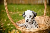 Dog Breed Dalmatian On A Walk Beautiful Portrait.dalmatian Puppy In A Meadow In Fall Season. Autumn  poster