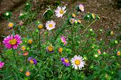 Spontaneous Daisies Grown In The Fields, Along Roadsides, In The Woods; It Is A Very Common Plant. H poster