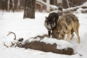 Grey Wolves (canis Lupus) Looks Up Over Wolf At Deer Carcass - Captive Animals poster