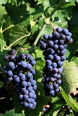 foto of wine grapes  - Grapes on the wine - JPG