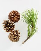Pine branch with pine cones on white background. poster