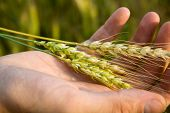 image of gleaning  - Hand with wheat - JPG