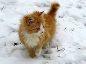 Ginger Cat Walking On The Snow. Snowflakes On Cat Hair During Snowfall, Concept For Cold Weather, Wi poster