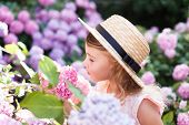 Little Girl Smells Scent Bushes Of Hydrangea Flowers In Sunny Garden. Blooming Flowers Are Pink, Blu poster